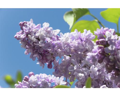 Lilas commun FloraSelf Syringa vulgaris ''Beauty of Moscow'' H 40-60 cm Co 3 l