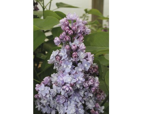 Lilas commun FloraSelf Syringa vulgaris ''Michel Buchner'' H 40-60 cm Co 3 l