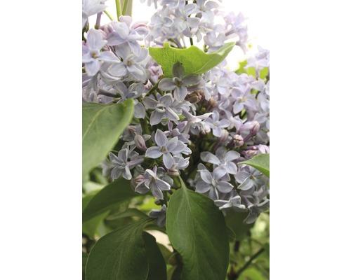 Lilas commun FloraSelf Syringa vulgaris ''Président Grévy'' H 40-60 cm Co 3 l