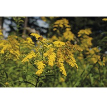 Verge d''or Solidago-Cultivars ''Srahlenkrone'' h 5-80 cm Co 0,5 l (6 pièces)-thumb-0