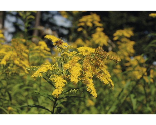 Verge d''or Solidago-Cultivars ''Srahlenkrone'' h 5-80 cm Co 0,5 l (6 pièces)-0