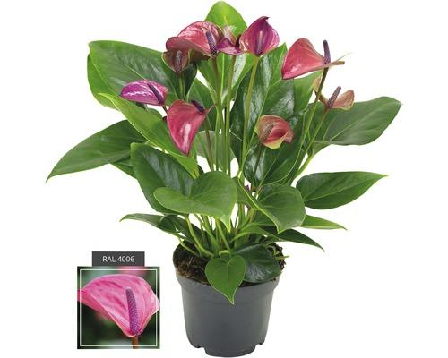 Langue de feu FloraSelf Anthurium andreanum ''Purple'' H 35-40 pot Ø 12 cm