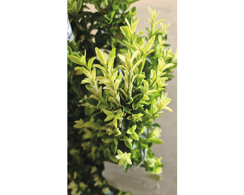 Spindelstrauch FloraSelf Euonymus ''Paloma Blanca'' H 60-80 cm Co 9 L