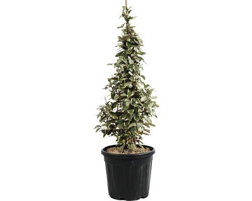 Plantes taillées