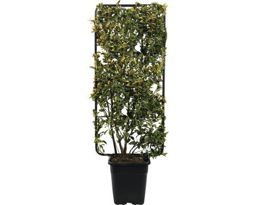 Fusain du Japon espalier FloraSelf Euonymus japonicus ''Aurea'' H 110 cm B 50 cm Co 18 L