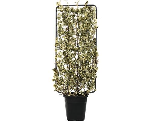 Fusain du Japon espalier FloraSelf Euonymus japonicus ''Bravo'' H 110 cm B 50 cm Co 18 L