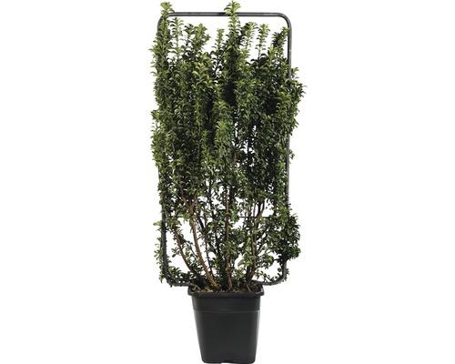 Fusain du Japon en colonne espalier FloraSelf Euonymus japonicus ''Benkomasaki'' H 110 cm B 50 cm Co 18 L