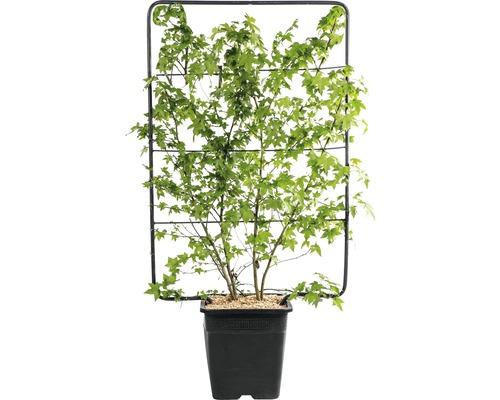 Liquidambar en espalier FloraSelf Liquidambar styraciflua H env. 120 l 80 cm Co 30 L