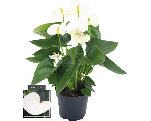 Langue de feu FloraSelf Anthurium andreanum H35-40cm pot Ø12cm