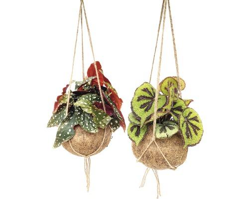 Ensemble de suspensions Kokodama FloraSelf mélange de bégonias H 30-35 cm pot Ø 17 cm