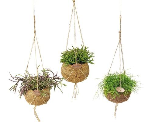 Ensemble de suspensions Kokodama FloraSelf mélange de cactus corail Rhipsalis H 30-35 cm pot Ø 15 cm