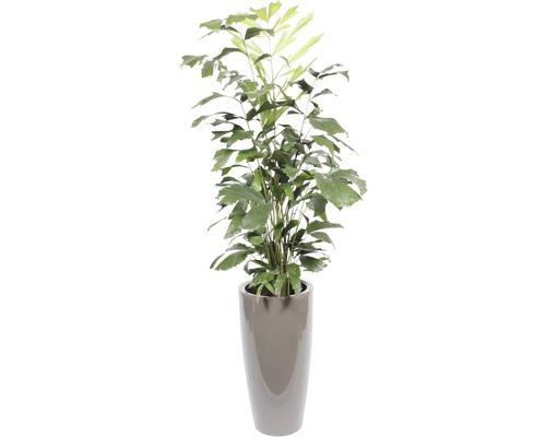 Plantes en bac palmier à queue de poisson hauteur totale env. 180 cm pot de Ø 33 cm taupe