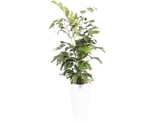 Plantes en bac palmier à queue de poisson hauteur totale env. 180 cm pot de Ø 33 cm blanc