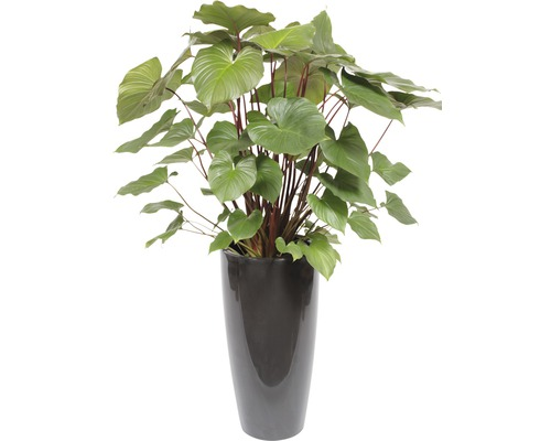 Plantes en bac Hoya kerrii hauteur totale env. 140 cm pot de Ø 33 cm anthracite