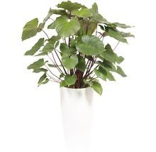 Hoya kerrii dans un vase Santorini Ø 33 cm hauteur totale avec plante env. 140 cm blanc-thumb-0