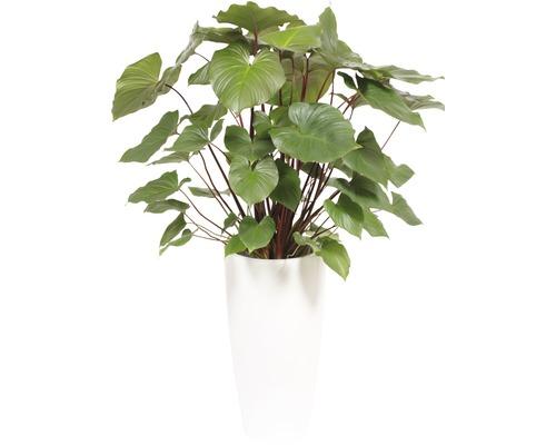 Plantes en bac Hoya kerrii hauteur totale env. 140 cm pot de Ø 33 cm blanc