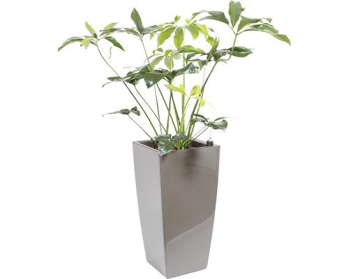 Plantes en bac Philodendron hauteur totale env. 150 cm pot de l40xL40xh78 cm taupe