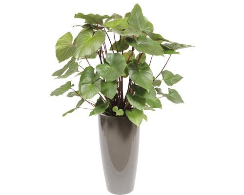 Plantes en bac Hoya kerrii hauteur totale env. 140 cm pot de Ø 33 cm taupe