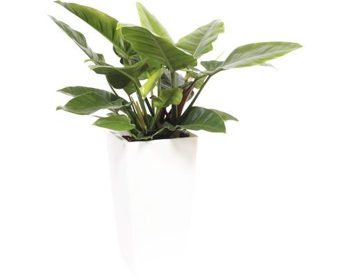 Plantes en bac Philodendron hauteur totale env. 120 cm pot de l33xL33xh61 cm blanc