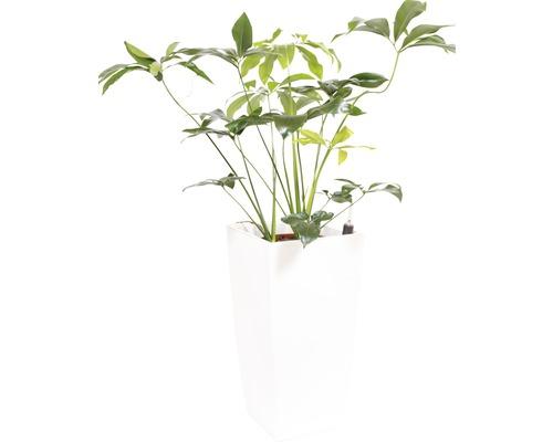 Plantes en bac Philodendron hauteur totale env. 150 cm pot de l40xL40xh78 cm blanc