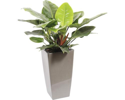 Plantes en bac Philodendron hauteur totale env. 120 cm pot de l33xL33xh61 cm taupe