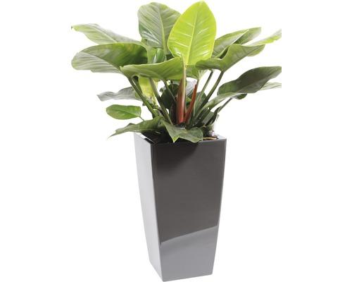 Plantes en bac Philodendron hauteur totale env. 120 cm pot de l33xL33xh61 cm anthracite