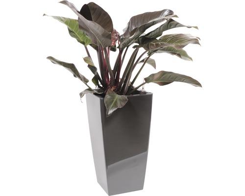 Plantes en bac Philodendron ''Imperial Red'' hauteur totale env. 120 cm pot de l33xL33xh61 cm anthracite