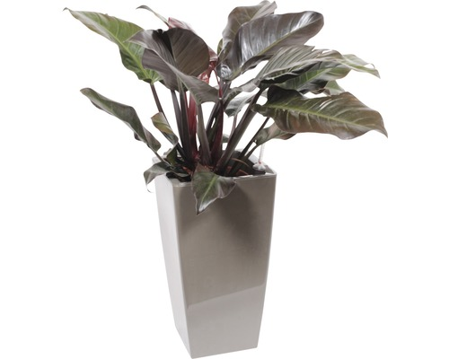 Plantes en bac Philodendron ''Imperial Red'' hauteur totale env. 120 cm pot de l33xL33xh61 cm taupe