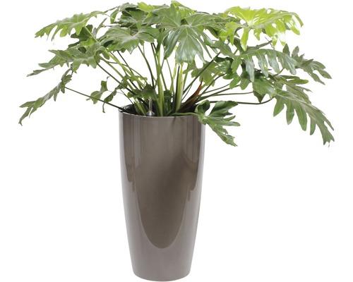 Plantes en bac Philodendron hauteur totale env. 130 cm pot de Ø 40 cm taupe