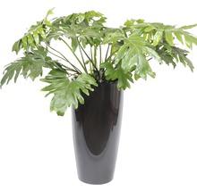 Philodendron dans un vase Santorini Ø 40 cm hauteur totale avec plante env. 130 cm anthracite-thumb-0