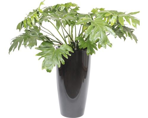 Plantes en bac Philodendron hauteur totale env. 130 cm pot de Ø 40 cm anthracite