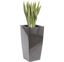 Sansevieria dans un vase Piza l40xL40xh78 cm hauteur totale avec plante env. 140 cm anthracite-thumb-0