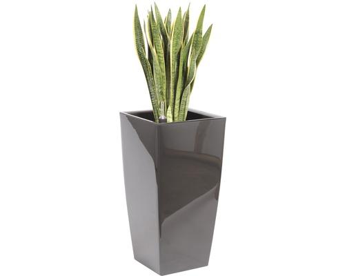 Sansevieria dans un vase Piza l40xL40xh78 cm hauteur totale avec plante env. 140 cm anthracite-0