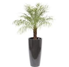Palmier dattier nain dans un vase Santorini Ø 40 cm hauteur totale avec plante env. 170 cm anthracite-thumb-0