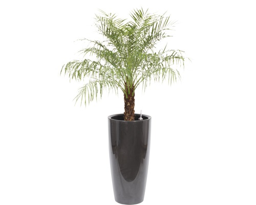 Palmier dattier nain dans un vase Santorini Ø 40 cm hauteur totale avec plante env. 170 cm anthracite-0
