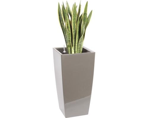 Plantes en bac Sansevieria hauteur totale env. 140 cm pot de l40xL40xh78 cm taupe