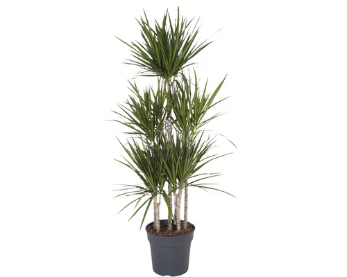 Dragonnier FloraSelf Dracaena marginata ''Carroussel'' h 120-150 cm pot Ø 31 cm