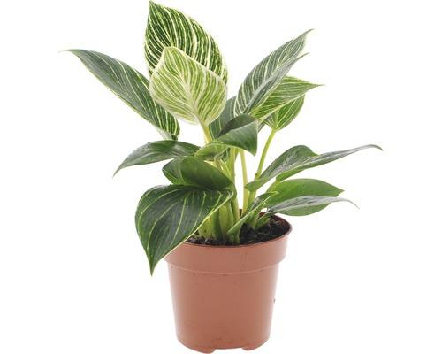 Philodendron FloraSelf Philodendron ''White Wave'' H 20-30 cm pot Ø 12 cm