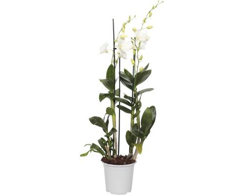 Dendrobie FloraSelf Dendrobium sanook H 80-100 cm Ø 17 cm pot 3 panicules blanc