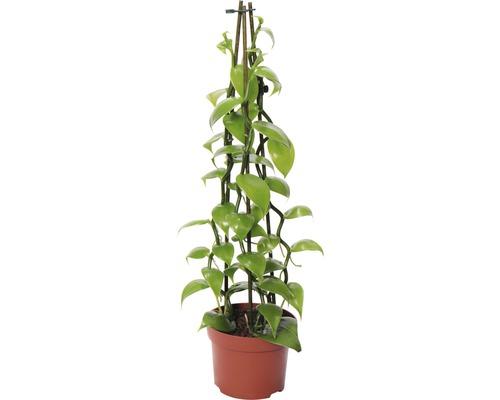 Orchidée vanille pyramide FloraSelf H 40-50 cm pot Ø 12 cm 4 panicules