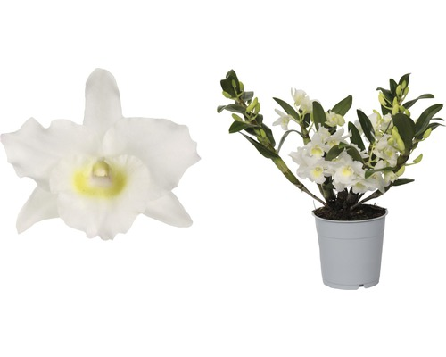 Dendrobie FloraSelf Dendrobium ''Wild'' H 30-35 cm Ø 12 cm pot 4 panicules