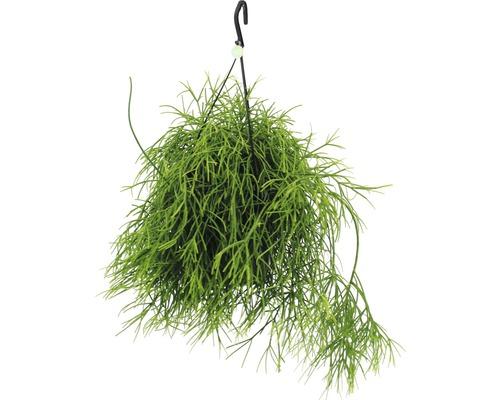 Suspension de cactus corail FloraSelf Rhipsalis ''Oasis'' h 20-30 cm pot Ø 17 cm
