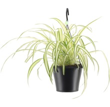 Lys vert retombant FloraSelf Chlorophytum comosum ''Bonnie'', en ensemble de suspension florale, hauteur avec pot 40-50 cm pot Ø 17 cm-thumb-0