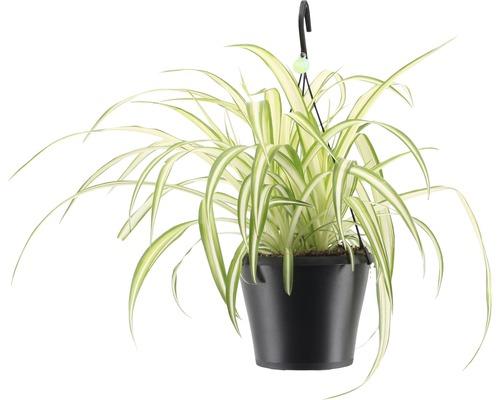 Lys vert retombant FloraSelf Chlorophytum comosum ''Bonnie'', en ensemble de suspension florale, hauteur avec pot 40-50 cm pot Ø 17 cm-0