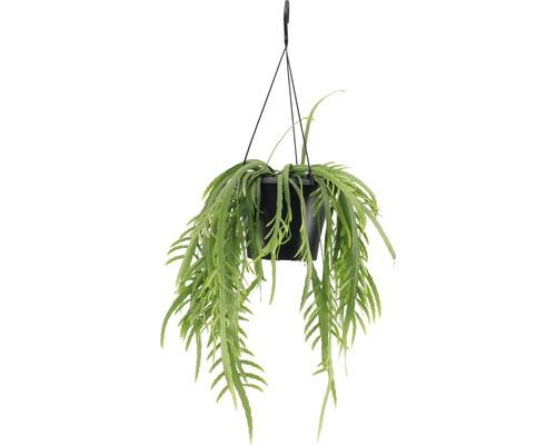 Cactus epiphyllum retombant FloraSelf Lepismium bolivianum en ensemble de suspension florale, hauteur avec pot 20-30 cm pot Ø 17 cm