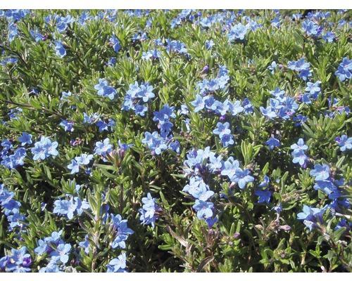 Steinsame Lithodora diffusa ''Heavenly Blue'' H 5-20 cm Co 0,5 L (6 Stk.)