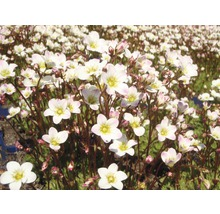 Saxifrage moussu Saxifraga arendsii ''Schneeteppich'' h 5-15 cm Co 0,5 l (6 pièces)-thumb-0