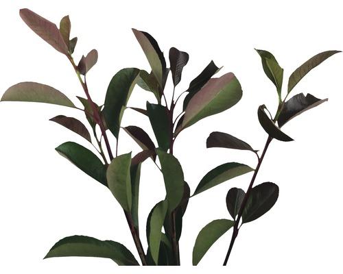 Photinia fraseri FloraSelf ''Red Robin'' H150-175cm Co 25l
