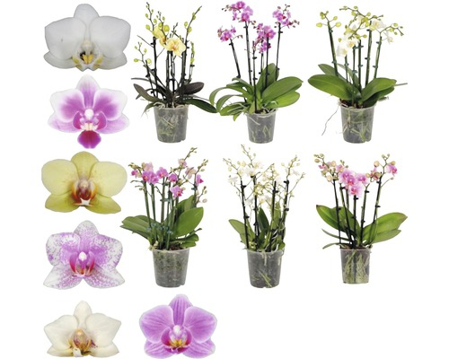 Orchidée papillon mélange FloraSelf Phalaenopsis multiflora H 40-50 cm pot Ø 12 cm 6 panicules