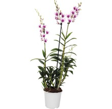 Dendrobie FloraSelf Dendrobium sanook H 80-100 cm Ø 17 cm pot 3 panicules rose-thumb-0